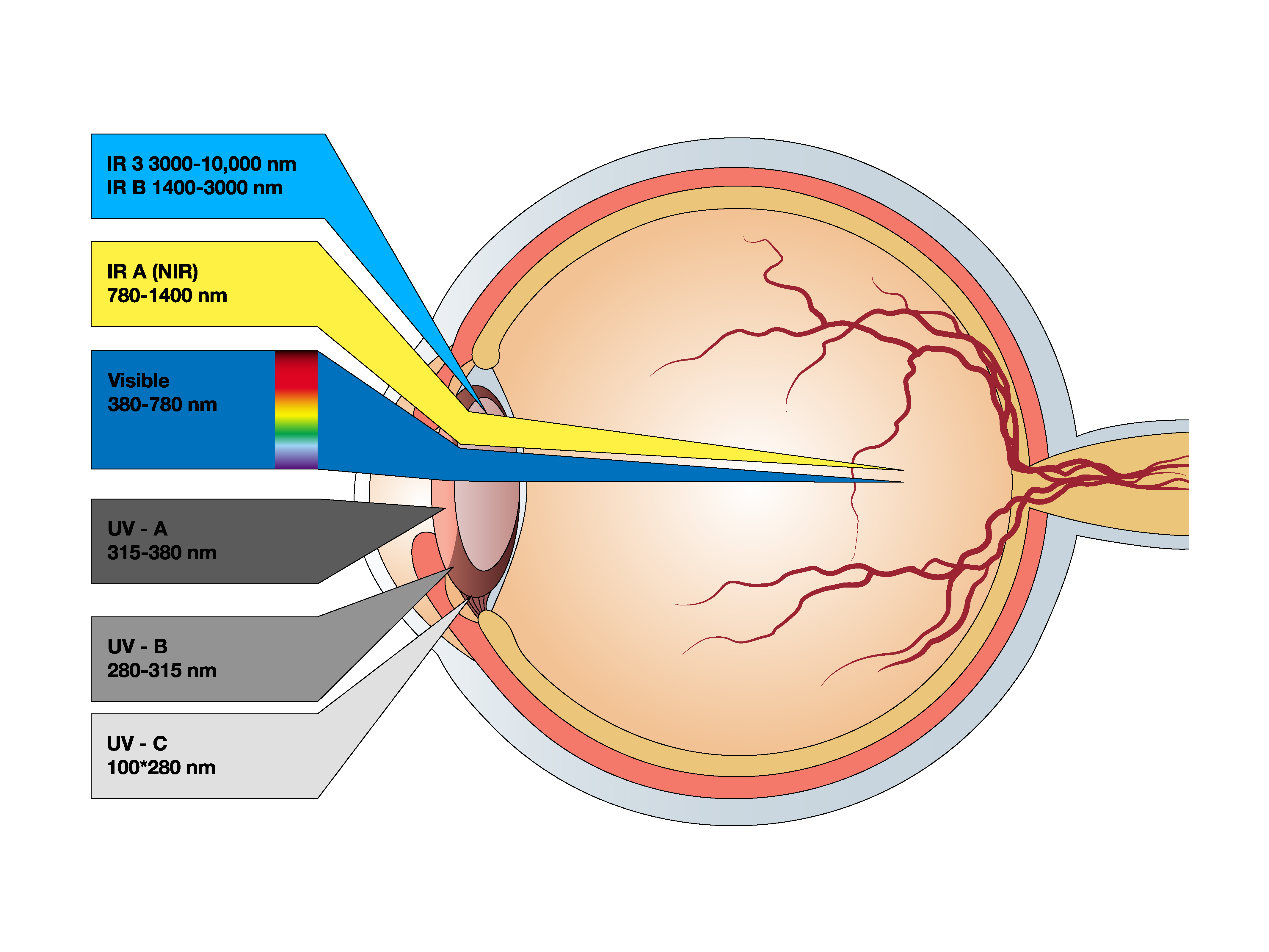 Wavelengths impacting different parts of the eye
