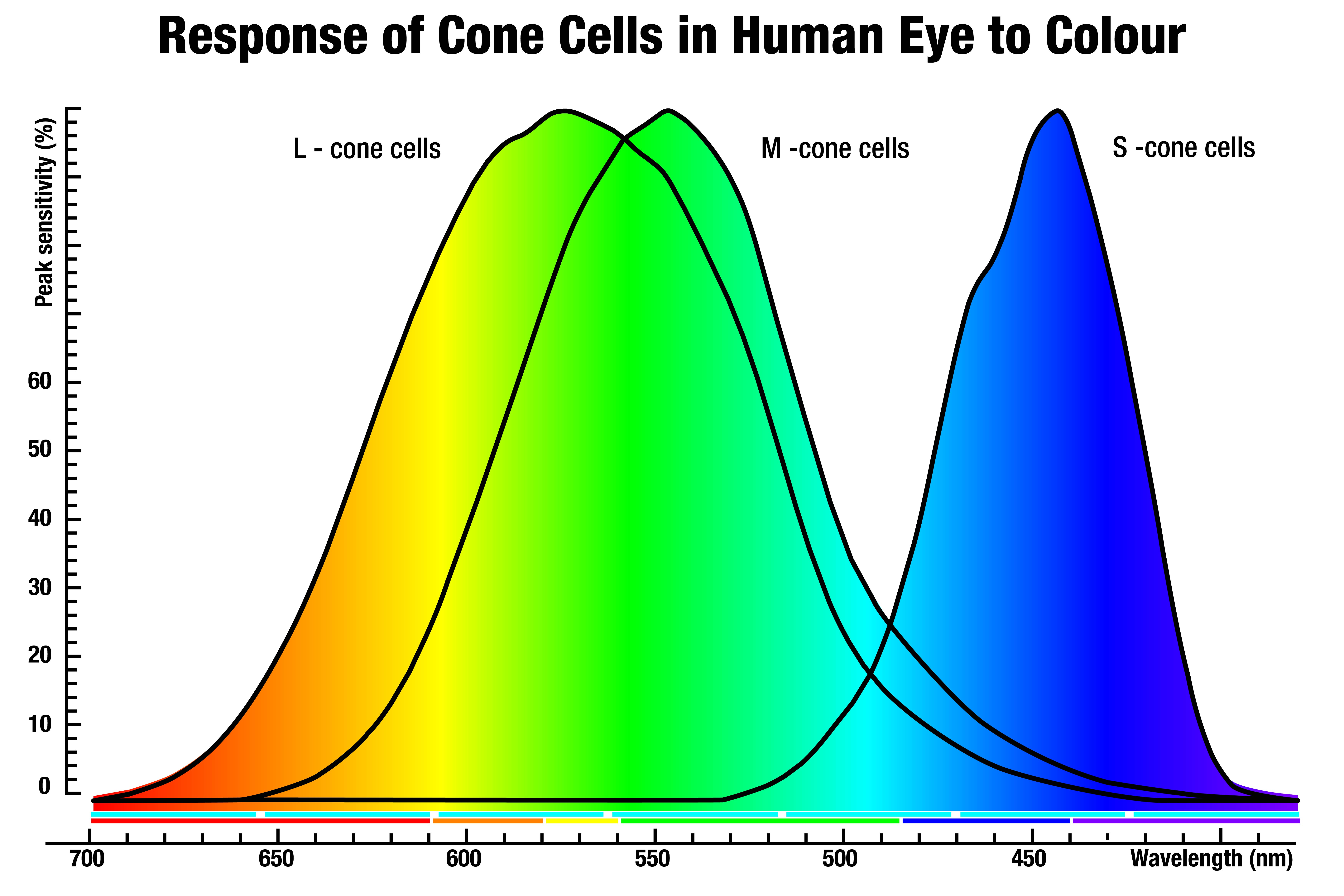 Response of Cone Cells